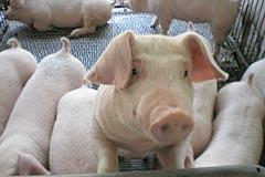 大光食品SPF豚:長崎じげもん豚