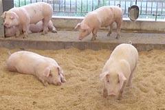 長崎じげもん豚、衛生的な飼育環境