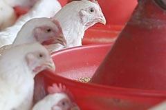 雲仙しまばら鶏:給餌風景