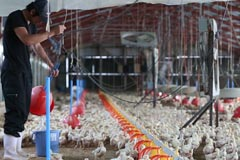 雲仙しまばら鶏:生産風景