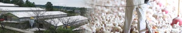 雲仙しまばら鶏:生産者の声